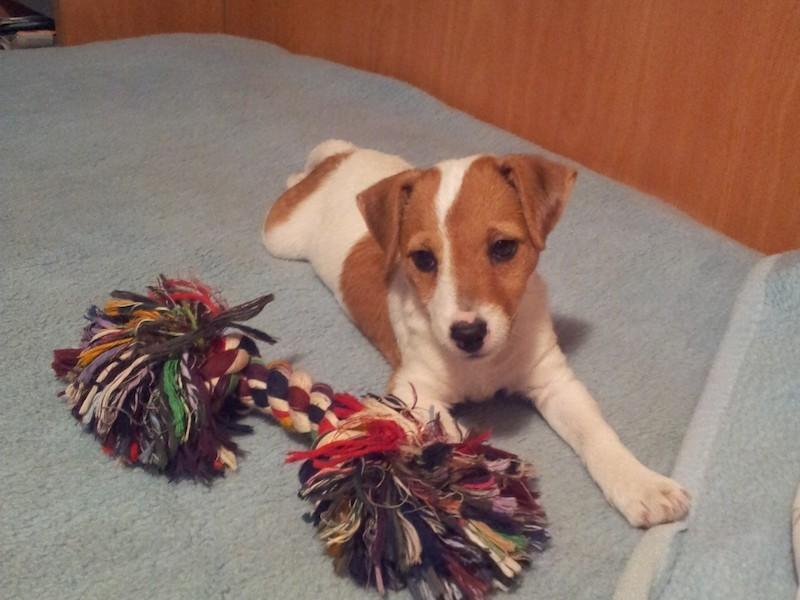 Boncan, adiestramiento, educación y modificación de conducta canina en Barcelona - Adiestramiento Jack Russell