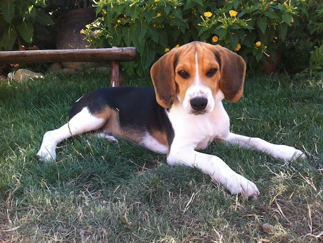 Boncan, adiestramiento, educación y modificación de conducta canina en Barcelona - Adiestramiento Beagle