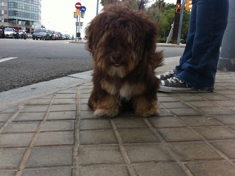 Boncan, adiestramiento, educación y modificación de conducta canina en Barcelona - Habanero
