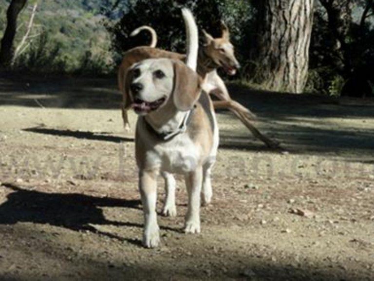 Adiestramiento Boncan Beagle Barcelona
