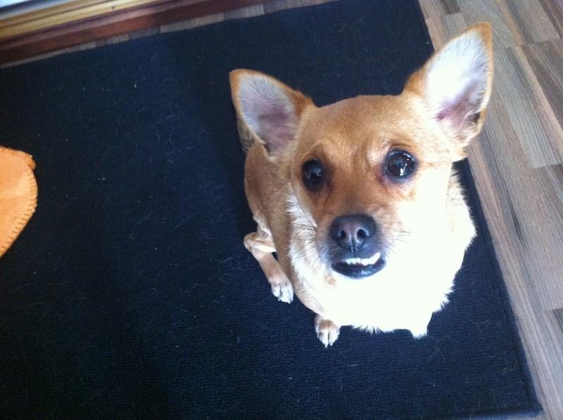 Boncan, adiestramiento, educación y modificación de conducta canina en Barcelona - Adiestramiento Mezcla de pequinés.