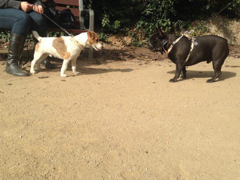 Adiestramiento Boncan Bulldog Francés Barcelona