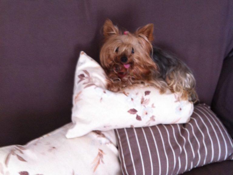 Boncan adiestramiento yorkshire terrier