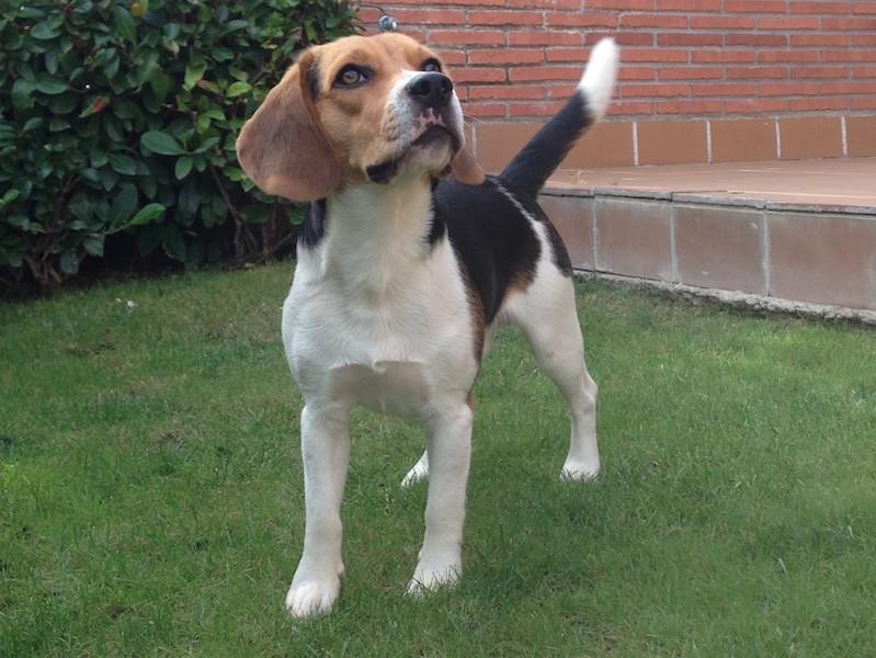 Boncan, adiestramiento, educación y modificación de conducta canina en Barcelona - Bogui Beagle
