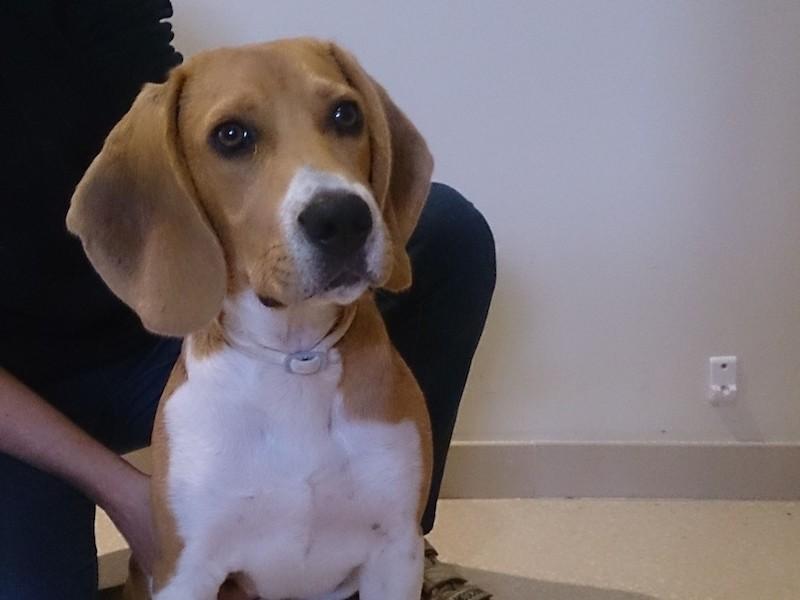 Adiestramiento Beagle Boncan