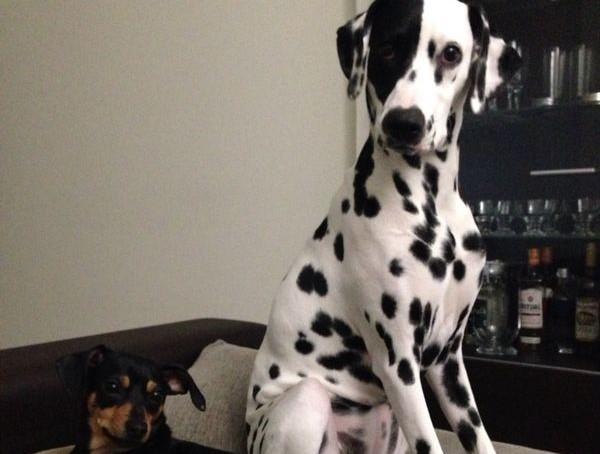 Boncan, adiestramiento, educación y modificación de conducta canina en Barcelona - Dálmata y Mini pincher