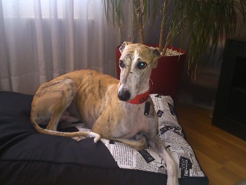 Boncan, adiestramiento, educación y modificación de conducta canina en Barcelona - Galgo