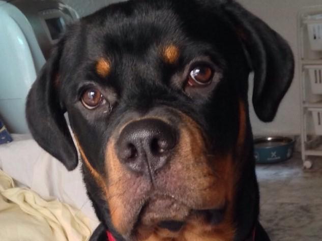 Boncan, adiestramiento, educación y modificación de conducta canina en Barcelona - Rottweiler