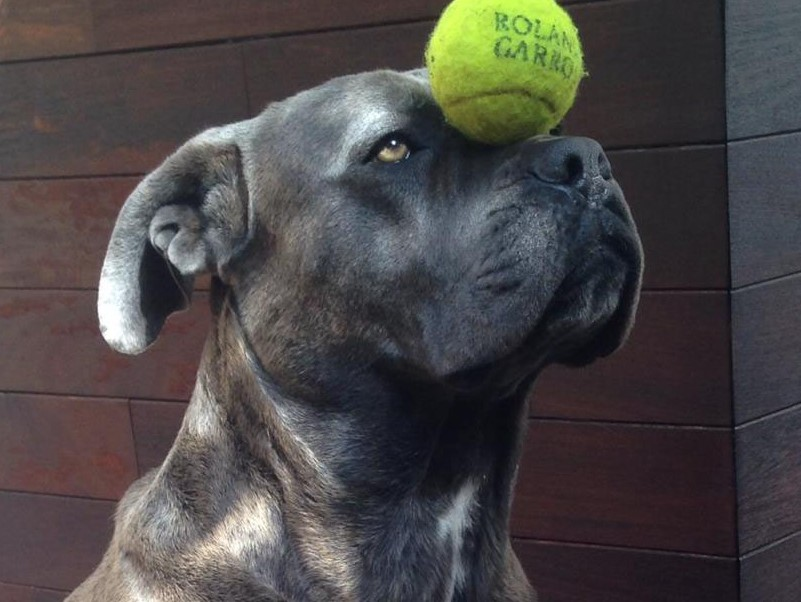 Boncan, adiestramiento, educación y modificación de conducta canina en Barcelona - Cane Corso