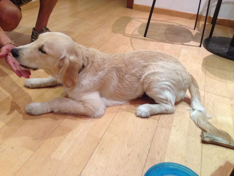 Boncan, adiestramiento, educación y modificación de conducta canina en Barcelona - Golden Retriever