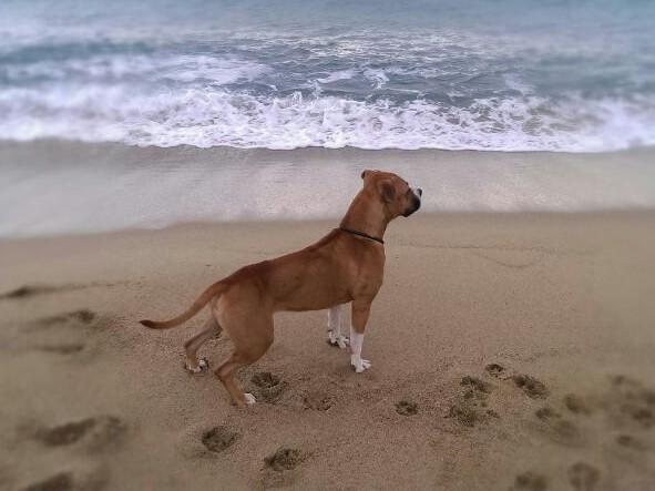 Boncan, adiestramiento, educación y modificación de conducta canina en Barcelona - American Staffordshire Terrier