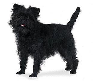 Boncan, adiestramiento, educación y modificación de conducta canina en Barcelona - Affenpinscher
