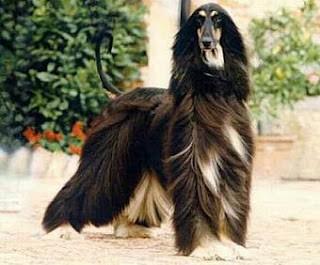 Boncan, adiestramiento, educación y modificación de conducta canina en Barcelona - Afgano
