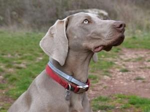 Boncan, adiestramiento, educación y modificación de conducta canina en Barcelona - Braco de Weimar-Weimaraner