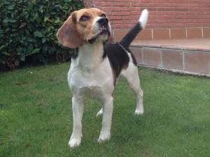Boncan, adiestramiento, educación y modificación de conducta canina en Barcelona - Beagle