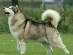 Boncan, adiestramiento, educación y modificación de conducta canina en Barcelona - Alaskan Malamute