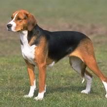Boncan, adiestramiento, educación y modificación de conducta canina en Barcelona - American Foxhound