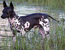 Boncan, adiestramiento, educación y modificación de conducta canina en Barcelona - American Hairless Terrier