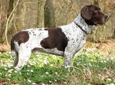 Boncan, adiestramiento, educación y modificación de conducta canina en Barcelona - Antiguo perro de muestra Danés