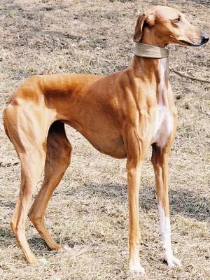 Boncan, adiestramiento, educación y modificación de conducta canina en Barcelona - Azawakh
