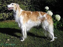 Boncan, adiestramiento, educación y modificación de conducta canina en Barcelona - Borzoi