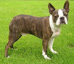 Boncan, adiestramiento, educación y modificación de conducta canina en Barcelona - Boston Terrier