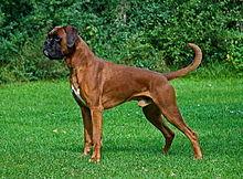Boncan, adiestramiento, educación y modificación de conducta canina en Barcelona -Boxer