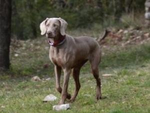 Boncan, adiestramiento, educación y modificación de conducta canina en Barcelona - Braco de Weimar o Weimaraner