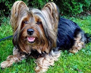 Boncan, adiestramiento, educación y modificación de conducta canina en Barcelona - Silky Terrier